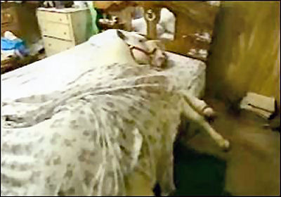 Photo of horse in someone's bed, all covered up with a sheet.